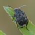 Pelėžirninis grūdinukas - Bruchus affinis | Fotografijos autorius : Gintautas Steiblys | © Macrogamta.lt | Šis tinklapis priklauso bendruomenei kuri domisi makro fotografija ir fotografuoja gyvąjį makro pasaulį.