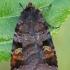 Mėlyninis dirvinukas - Diarsia brunnea | Fotografijos autorius : Gintautas Steiblys | © Macrogamta.lt | Šis tinklapis priklauso bendruomenei kuri domisi makro fotografija ir fotografuoja gyvąjį makro pasaulį.