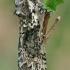 Žalsvasis pūkanugaris - Polyploca ridens   Fotografijos autorius : Gintautas Steiblys   © Macrogamta.lt   Šis tinklapis priklauso bendruomenei kuri domisi makro fotografija ir fotografuoja gyvąjį makro pasaulį.