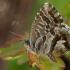 Pelargoninis melsvys - Cacyreus marshalli   Fotografijos autorius : Gintautas Steiblys   © Macrogamta.lt   Šis tinklapis priklauso bendruomenei kuri domisi makro fotografija ir fotografuoja gyvąjį makro pasaulį.