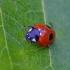 Penkiataškė boružė - Coccinella quinquepunctata | Fotografijos autorius : Romas Ferenca | © Macrogamta.lt | Šis tinklapis priklauso bendruomenei kuri domisi makro fotografija ir fotografuoja gyvąjį makro pasaulį.