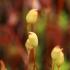 Perkūnrugiai | Fotografijos autorius : Gintautas Steiblys | © Macrogamta.lt | Šis tinklapis priklauso bendruomenei kuri domisi makro fotografija ir fotografuoja gyvąjį makro pasaulį.