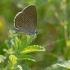 Gencijoninis melsvys - Phengaris [=Maculinea] alcon | Fotografijos autorius : Zita Gasiūnaitė | © Macrogamta.lt | Šis tinklapis priklauso bendruomenei kuri domisi makro fotografija ir fotografuoja gyvąjį makro pasaulį.