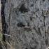 Didžioji vaškuotė - Phlebiopsis gigantea | Fotografijos autorius : Vytautas Gluoksnis | © Macrogamta.lt | Šis tinklapis priklauso bendruomenei kuri domisi makro fotografija ir fotografuoja gyvąjį makro pasaulį.