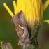 Pietinis žvilgūnas - Macdunnoughia confusa | Fotografijos autorius : Žilvinas Pūtys | © Macrogamta.lt | Šis tinklapis priklauso bendruomenei kuri domisi makro fotografija ir fotografuoja gyvąjį makro pasaulį.