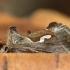 Pietinis žvilgūnas - Macdunnoughia confusa | Fotografijos autorius : Vidas Brazauskas | © Macrogamta.lt | Šis tinklapis priklauso bendruomenei kuri domisi makro fotografija ir fotografuoja gyvąjį makro pasaulį.