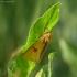 Pievinė meškutė - Diacrisia sannio | Fotografijos autorius : Vidas Brazauskas | © Macrogamta.lt | Šis tinklapis priklauso bendruomenei kuri domisi makro fotografija ir fotografuoja gyvąjį makro pasaulį.