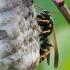 Pievinė popiervapsvė - Polistes nimpha | Fotografijos autorius : Žilvinas Pūtys | © Macrogamta.lt | Šis tinklapis priklauso bendruomenei kuri domisi makro fotografija ir fotografuoja gyvąjį makro pasaulį.