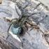 Pievinis šuolininkas - Pardosa prativaga | Fotografijos autorius : Kazimieras Martinaitis | © Macrogamta.lt | Šis tinklapis priklauso bendruomenei kuri domisi makro fotografija ir fotografuoja gyvąjį makro pasaulį.
