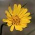Pievinis pūtelis - Tragopogon pratensis | Fotografijos autorius : Ramunė Vakarė | © Macrogamta.lt | Šis tinklapis priklauso bendruomenei kuri domisi makro fotografija ir fotografuoja gyvąjį makro pasaulį.