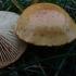 Piktoji skujagalvė - Pholiota lucifera | Fotografijos autorius : Vitalij Drozdov | © Macrogamta.lt | Šis tinklapis priklauso bendruomenei kuri domisi makro fotografija ir fotografuoja gyvąjį makro pasaulį.