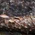 Pilkšvarudė mažasporė - Baeospora myosura | Fotografijos autorius : Vytautas Gluoksnis | © Macrogamta.lt | Šis tinklapis priklauso bendruomenei kuri domisi makro fotografija ir fotografuoja gyvąjį makro pasaulį.