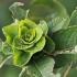 Pilkojo karklo - Salix cinerea rožė   Fotografijos autorius : Gintautas Steiblys   © Macrogamta.lt   Šis tinklapis priklauso bendruomenei kuri domisi makro fotografija ir fotografuoja gyvąjį makro pasaulį.