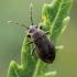 Pilkoji dirvablakė - Stygnocoris rusticus | Fotografijos autorius : Oskaras Venckus | © Macrogamta.lt | Šis tinklapis priklauso bendruomenei kuri domisi makro fotografija ir fotografuoja gyvąjį makro pasaulį.
