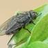 Pilkoji lavonmusė - Pollenia sp. ♀ | Fotografijos autorius : Gintautas Steiblys | © Macrogamta.lt | Šis tinklapis priklauso bendruomenei kuri domisi makro fotografija ir fotografuoja gyvąjį makro pasaulį.