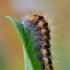 Pilkrudis strėlinukas - Acronicta auricoma, vikšras | Fotografijos autorius : Arūnas Eismantas | © Macrogamta.lt | Šis tinklapis priklauso bendruomenei kuri domisi makro fotografija ir fotografuoja gyvąjį makro pasaulį.