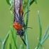 Pjūklelis - Dolerus germanicus | Fotografijos autorius : Gintautas Steiblys | © Macrogamta.lt | Šis tinklapis priklauso bendruomenei kuri domisi makro fotografija ir fotografuoja gyvąjį makro pasaulį.