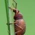 Pjovėjas - Otiorhynchus porcatus | Fotografijos autorius : Vidas Brazauskas | © Macrogamta.lt | Šis tinklapis priklauso bendruomenei kuri domisi makro fotografija ir fotografuoja gyvąjį makro pasaulį.