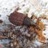 Pjovėjas - Otiorhynchus porcatus | Fotografijos autorius : Romas Ferenca | © Macrogamta.lt | Šis tinklapis priklauso bendruomenei kuri domisi makro fotografija ir fotografuoja gyvąjį makro pasaulį.