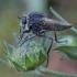 Plėšriamusė - Dysmachus trigonus ♂ | Fotografijos autorius : Žilvinas Pūtys | © Macrogamta.lt | Šis tinklapis priklauso bendruomenei kuri domisi makro fotografija ir fotografuoja gyvąjį makro pasaulį.