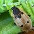 Plėšrusis (keturtaškis) maitvabalis - Dendroxena (=Xylodrepa) quadrimaculata   Fotografijos autorius : Vaida Paznekaitė   © Macrogamta.lt   Šis tinklapis priklauso bendruomenei kuri domisi makro fotografija ir fotografuoja gyvąjį makro pasaulį.