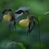 Plačialapė klumpaitė - Cypripedium calceolus   Fotografijos autorius : Zita Gasiūnaitė   © Macrogamta.lt   Šis tinklapis priklauso bendruomenei kuri domisi makro fotografija ir fotografuoja gyvąjį makro pasaulį.