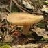 Plačialapė kremblė - Megacollybia platyphylla  | Fotografijos autorius : Vytautas Gluoksnis | © Macrogamta.lt | Šis tinklapis priklauso bendruomenei kuri domisi makro fotografija ir fotografuoja gyvąjį makro pasaulį.