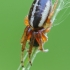 Plačiaraištis rėžiukas - Singa hamata | Fotografijos autorius : Gintautas Steiblys | © Macrogamta.lt | Šis tinklapis priklauso bendruomenei kuri domisi makro fotografija ir fotografuoja gyvąjį makro pasaulį.