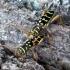 Margasis raštenis - Plagionotus arcuatus | Fotografijos autorius : Vitalii Alekseev | © Macrogamta.lt | Šis tinklapis priklauso bendruomenei kuri domisi makro fotografija ir fotografuoja gyvąjį makro pasaulį.