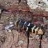Vapsviškasis raštenis - Plagionotus detritus | Fotografijos autorius : Vitalii Alekseev | © Macrogamta.lt | Šis tinklapis priklauso bendruomenei kuri domisi makro fotografija ir fotografuoja gyvąjį makro pasaulį.