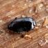 Platylomalus complanatus | Fotografijos autorius : Vitalii Alekseev | © Macrogamta.lt | Šis tinklapis priklauso bendruomenei kuri domisi makro fotografija ir fotografuoja gyvąjį makro pasaulį.