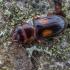 Plokščiavabalis - Laemophloeus monilis | Fotografijos autorius : Žilvinas Pūtys | © Macrogamta.lt | Šis tinklapis priklauso bendruomenei kuri domisi makro fotografija ir fotografuoja gyvąjį makro pasaulį.