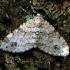 Plukinė cidarija - Mesotype didymata | Fotografijos autorius : Romas Ferenca | © Macrogamta.lt | Šis tinklapis priklauso bendruomenei kuri domisi makro fotografija ir fotografuoja gyvąjį makro pasaulį.