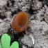 Pavasari̇nė plukiataurė - Dumontinia  tuberosa | Fotografijos autorius : Vytautas Tamutis | © Macrogamta.lt | Šis tinklapis priklauso bendruomenei kuri domisi makro fotografija ir fotografuoja gyvąjį makro pasaulį.