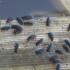 Podūra - Podura aquatica | Fotografijos autorius : Žilvinas Pūtys | © Macrogamta.lt | Šis tinklapis priklauso bendruomenei kuri domisi makro fotografija ir fotografuoja gyvąjį makro pasaulį.