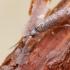 Podūra - Pogonognathellus flavescens | Fotografijos autorius : Gintautas Steiblys | © Macrogamta.lt | Šis tinklapis priklauso bendruomenei kuri domisi makro fotografija ir fotografuoja gyvąjį makro pasaulį.