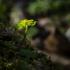 Pražangialapė blužnutė | Fotografijos autorius : Darius Baužys | © Macrogamta.lt | Šis tinklapis priklauso bendruomenei kuri domisi makro fotografija ir fotografuoja gyvąjį makro pasaulį.