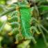 Pristiphora maesta | Fotografijos autorius : Žygimantas Obelevičius | © Macrogamta.lt | Šis tinklapis priklauso bendruomenei kuri domisi makro fotografija ir fotografuoja gyvąjį makro pasaulį.