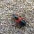 Skerdblakė - Prostemma aeneicolle | Fotografijos autorius : Vitalii Alekseev | © Macrogamta.lt | Šis tinklapis priklauso bendruomenei kuri domisi makro fotografija ir fotografuoja gyvąjį makro pasaulį.