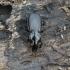Miškinis smiltžygis - Pterostichus aethiops | Fotografijos autorius : Giedrius Markevičius | © Macrogamta.lt | Šis tinklapis priklauso bendruomenei kuri domisi makro fotografija ir fotografuoja gyvąjį makro pasaulį.