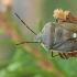 Pušinė skydblakė - Chlorochroa pinicola | Fotografijos autorius : Gintautas Steiblys | © Macrogamta.lt | Šis tinklapis priklauso bendruomenei kuri domisi makro fotografija ir fotografuoja gyvąjį makro pasaulį.