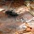 Pušinis ožiaragis - Monochamus galloprovincialis   Fotografijos autorius : Vitalii Alekseev   © Macrogamta.lt   Šis tinklapis priklauso bendruomenei kuri domisi makro fotografija ir fotografuoja gyvąjį makro pasaulį.