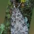 Pušyninė eudonija - Eudonia truncicolella   Fotografijos autorius : Arūnas Eismantas   © Macrogamta.lt   Šis tinklapis priklauso bendruomenei kuri domisi makro fotografija ir fotografuoja gyvąjį makro pasaulį.
