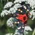 Puošnioji meškutė - Callimorpha dominula | Fotografijos autorius : Vytautas Gluoksnis | © Macrogamta.lt | Šis tinklapis priklauso bendruomenei kuri domisi makro fotografija ir fotografuoja gyvąjį makro pasaulį.