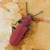 Purpurinis plokščiavabalis - Cucujus cinnaberinus | Fotografijos autorius : Vidas Brazauskas | © Macrogamta.lt | Šis tinklapis priklauso bendruomenei kuri domisi makro fotografija ir fotografuoja gyvąjį makro pasaulį.