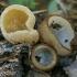 Pusrutulinės humarijos - Humaria hemisphaerica & ausūnis - Peziza sp. | Fotografijos autorius : Gintautas Steiblys | © Macrogamta.lt | Šis tinklapis priklauso bendruomenei kuri domisi makro fotografija ir fotografuoja gyvąjį makro pasaulį.
