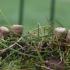 Puvėsinė miegė - Cyathus olla | Fotografijos autorius : Vytautas Gluoksnis | © Macrogamta.lt | Šis tinklapis priklauso bendruomenei kuri domisi makro fotografija ir fotografuoja gyvąjį makro pasaulį.