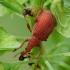 Rūgštyninis apionas - Apion frumentarium | Fotografijos autorius : Vidas Brazauskas | © Macrogamta.lt | Šis tinklapis priklauso bendruomenei kuri domisi makro fotografija ir fotografuoja gyvąjį makro pasaulį.