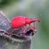 Rūgštyninis apionas - Apion frumentarium | Fotografijos autorius : Romas Ferenca | © Macrogamta.lt | Šis tinklapis priklauso bendruomenei kuri domisi makro fotografija ir fotografuoja gyvąjį makro pasaulį.