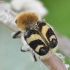 Raštuotasis auksavabalis - Trichius fasciatus | Fotografijos autorius : Kazimieras Martinaitis | © Macrogamta.lt | Šis tinklapis priklauso bendruomenei kuri domisi makro fotografija ir fotografuoja gyvąjį makro pasaulį.